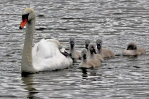 Swan and her cygnets on the lake