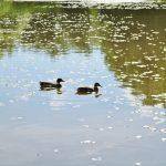 Fairview Ducks
