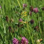 Yellow Rattle in our Wildflower Meadow